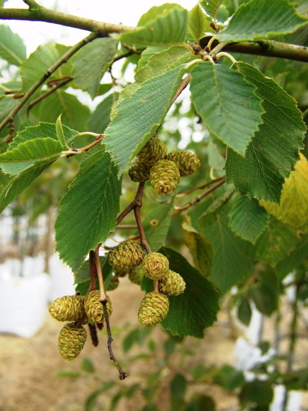 Summer foliage of Alnus incana Aurea