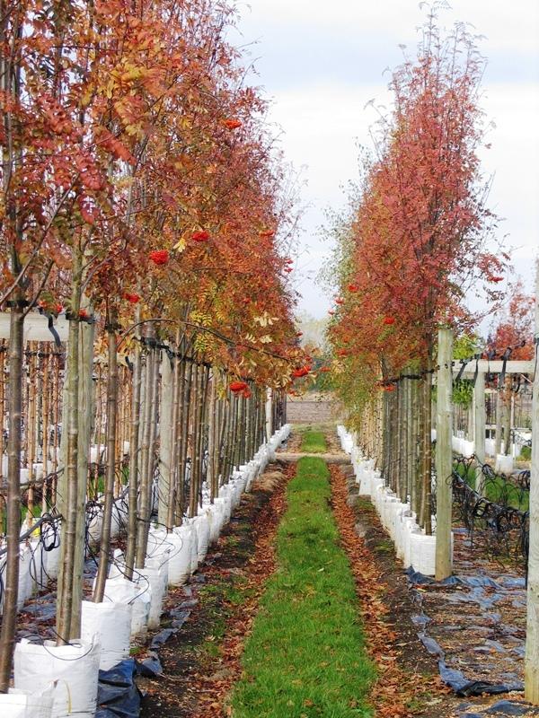 Sorbus aucuparia Edulis showing some autumn colour on the Barcham Trees nursery