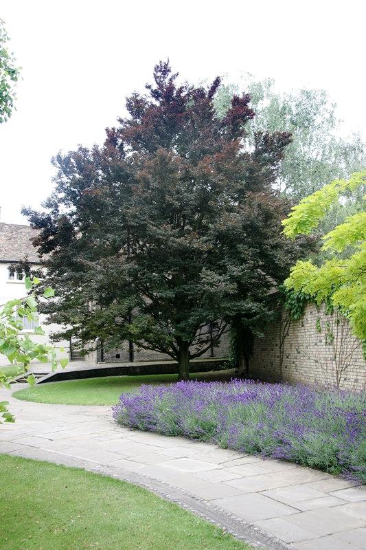 Fagus sylvatica Rohanii in a garden environment