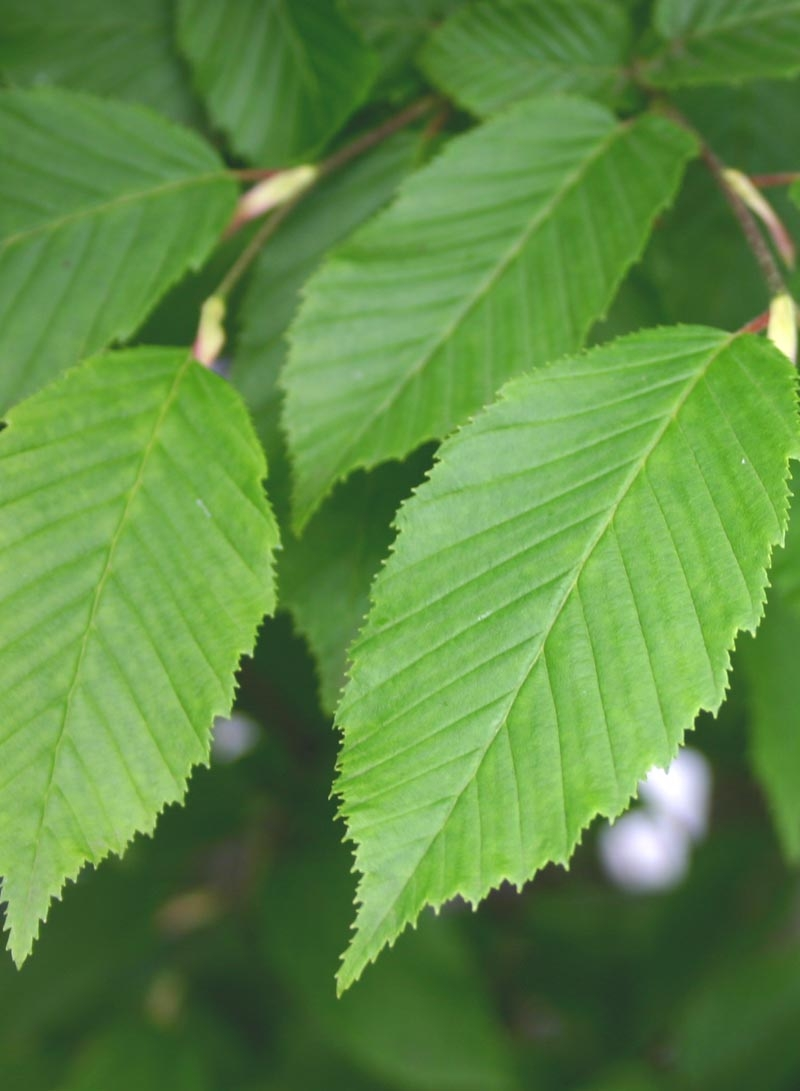 The foliage of Carpinus betulus Lucas