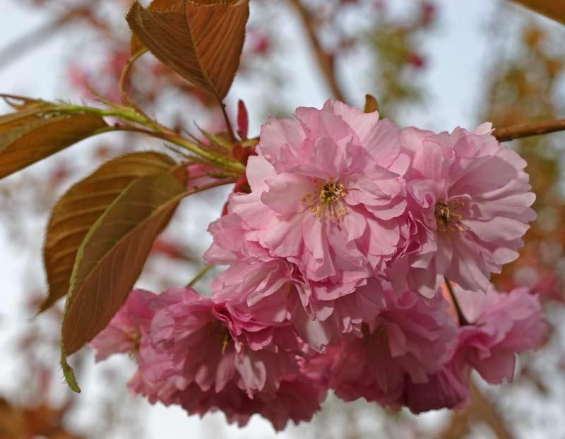 The beautiful pink flower of Prunus kanzan Prunus kanzan in flower