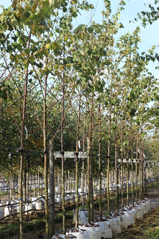 Betula maximowicziana, size Medium, on our nursery