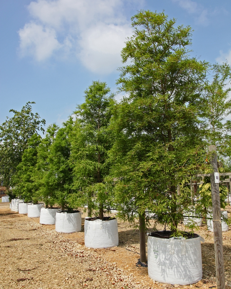 Sequoia sempervirens on the nursery at Barcham Trees