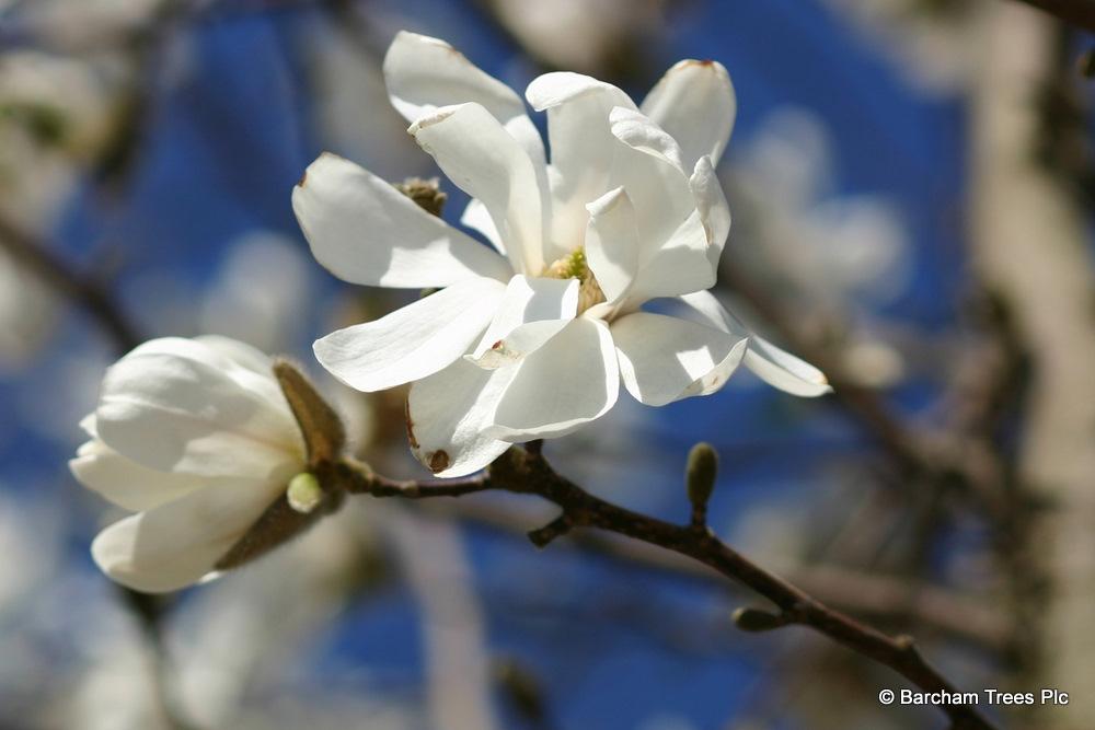 The flower of Magnolia loebneri Merril in detail