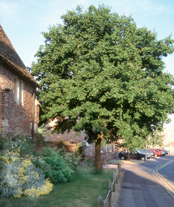 Mature Acer campestre planted in a residential area