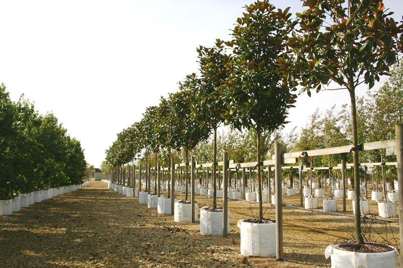 Instant specimens of Magnolia x grandiflora Gallissoniere on the Barcham Trees nursery