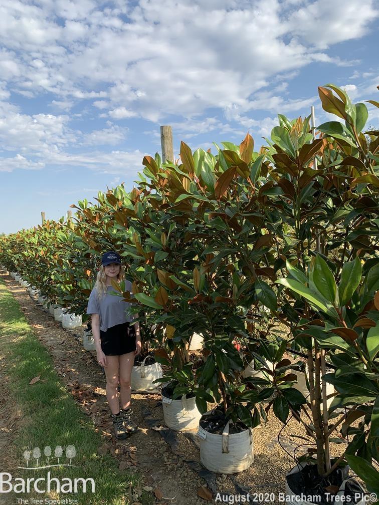 Magnolia grandiflora Gallissonniere multi-stem small