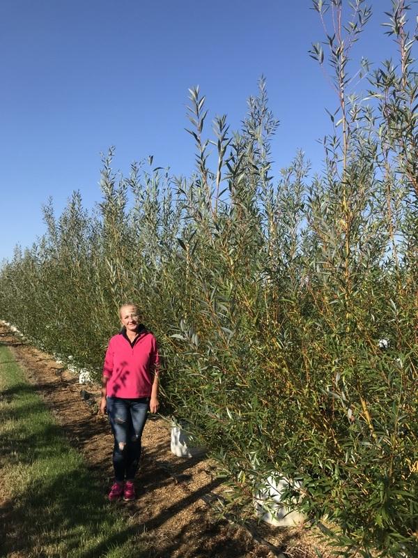 Salix alba Chermesina multi stem