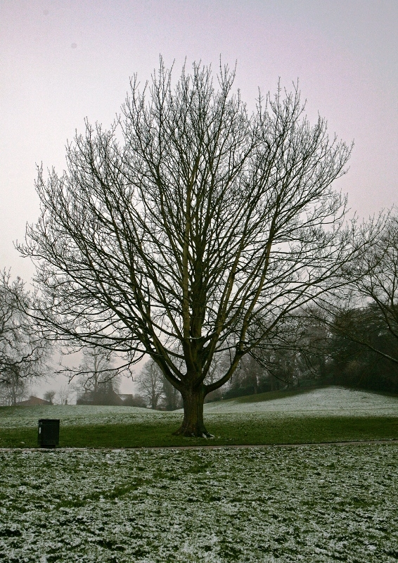 Mature Acer cappadocicum Rubrum during the winter