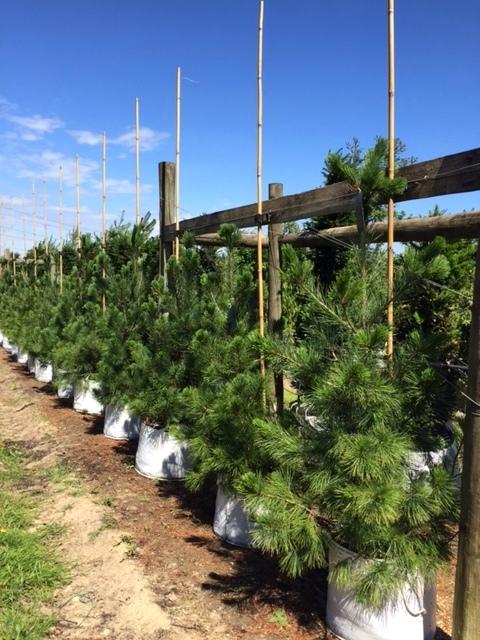 Row of small Pinus peuce