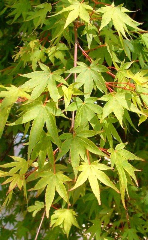 Summer foliage of Acer palmatum Osakazuki