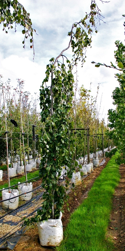 Fagus sylvatica Pendula on the Barcham Trees nursery