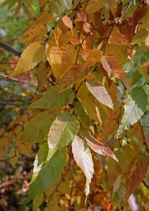 Autumn folioage of Zelkova serrata