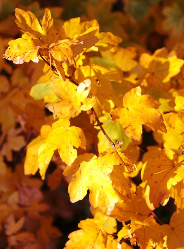Yellow autumn foliage of Acer campestre