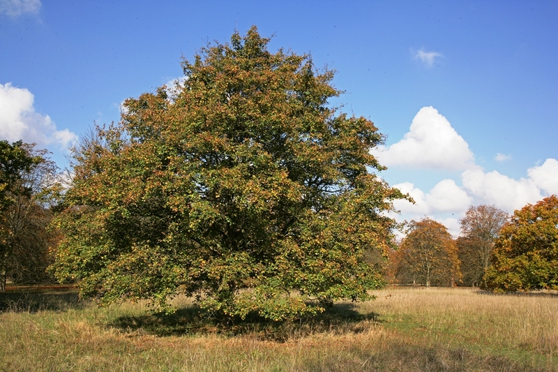 Mature Acer pseudoplatanus planted in a field