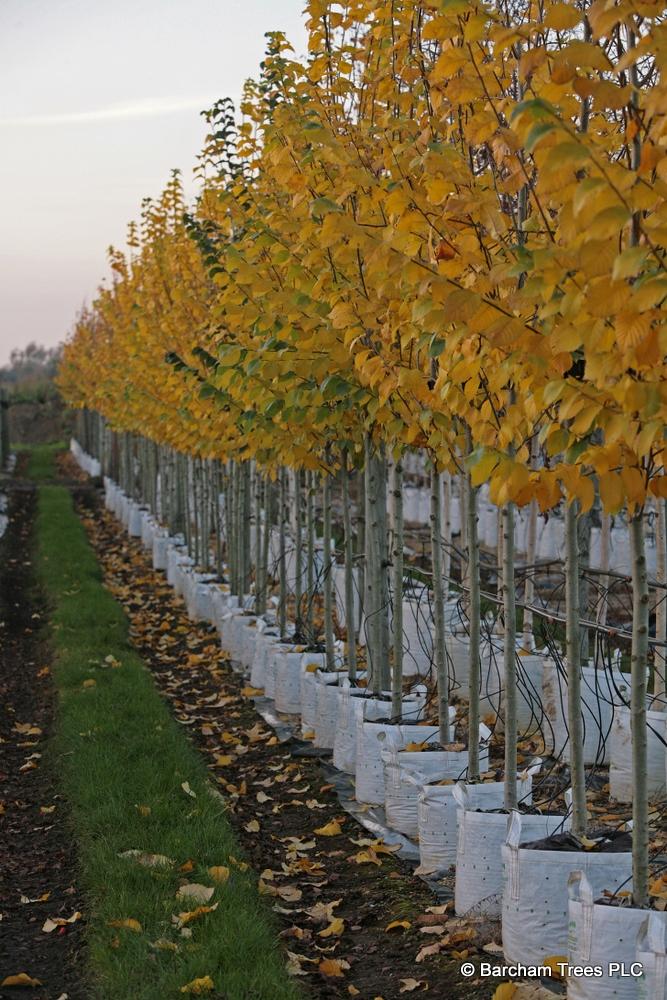 The autumn colour of Ulmus Clusius on the Barcham Trees nursery