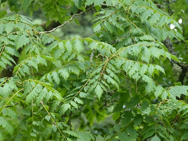 The leaves of Koelreuteria paniculata in detail