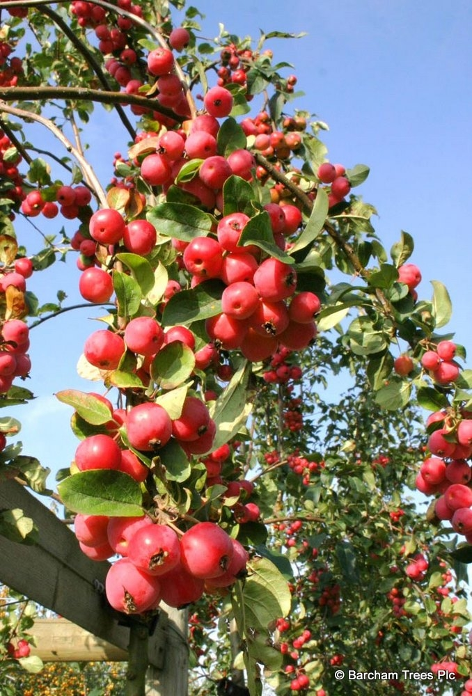 The large red fruit of Malus Red Sentinel in detail