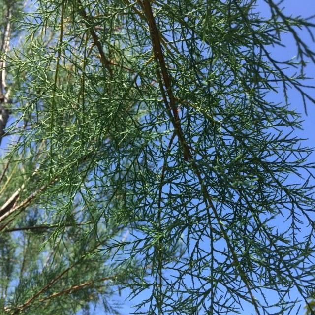 The fern like foliage of Tamarix Africana