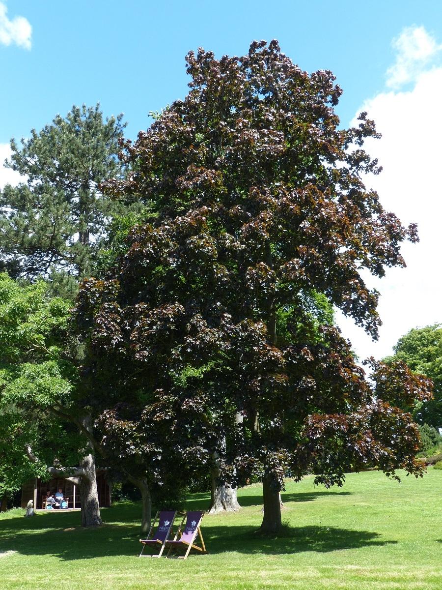 Mature Acer platanoides Crimson King at Ness Botanic Gardens