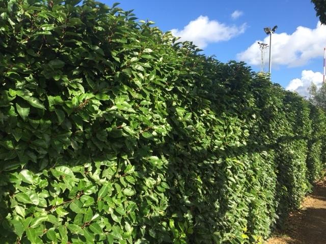Portuguese Laurel Tree