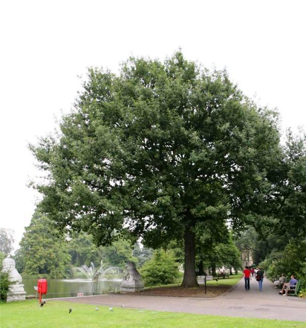 Mature Quercus patraea