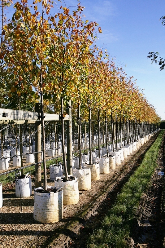 Tilia x europaea Pallida in autumn on the nursery