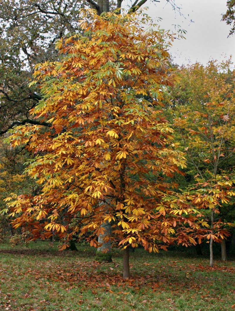The golden yellow autumn colours of Aesculus indica