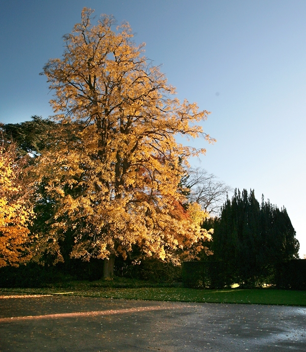 Mature Tilia tomentosa Petiolaris in the autumn