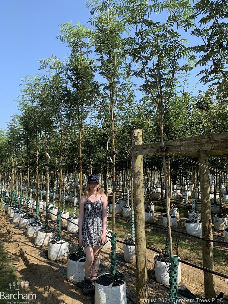 Medium Sorbus aucuparia Asplenifolia