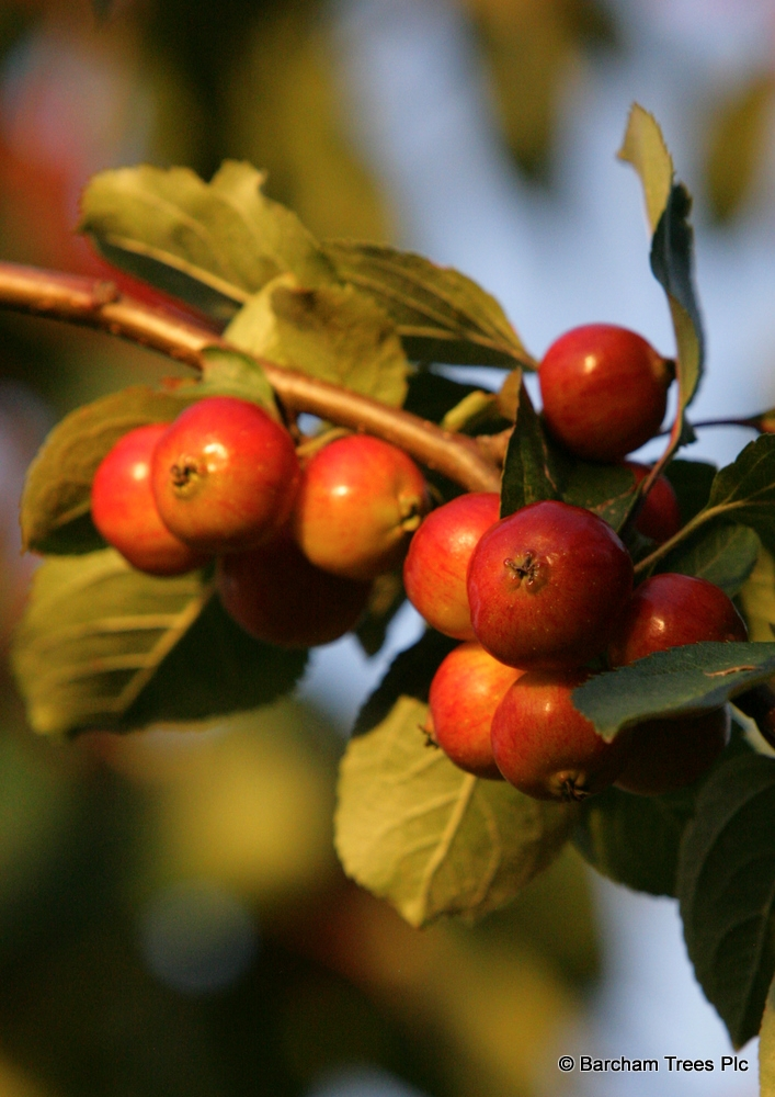 The rosy red and orange fruits of Malus Evereste in detail