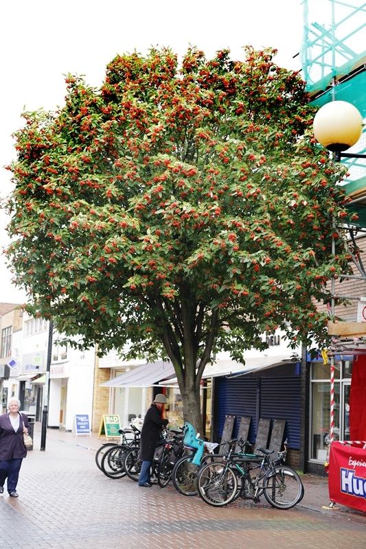A mature specimen of Sorbus thuringiaca Fastigiata in an urban environment