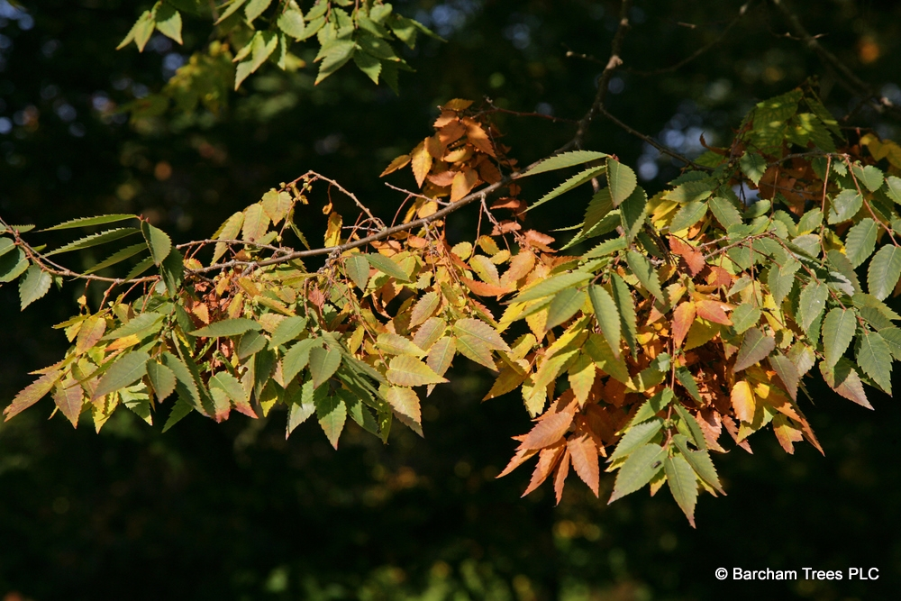 Zelkova serrata Green Vase foliage in early autumn