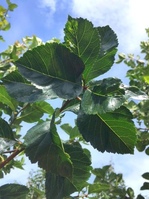 The glossy green leaves of Crataegus succulenta Jubilee
