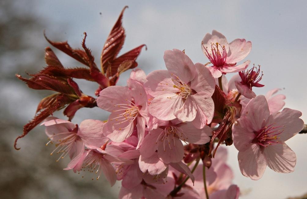 Pink flowers of Prunus sargentii Rancho
