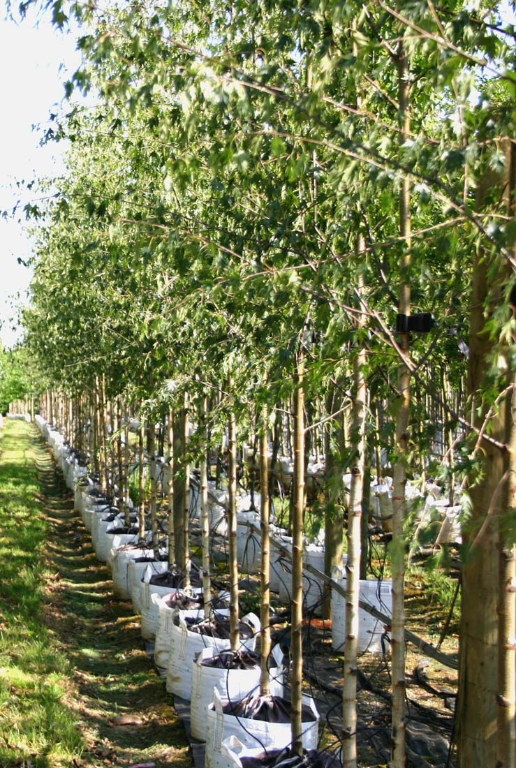 Betula pendula Dalecarlica on the row at Barcham Trees.