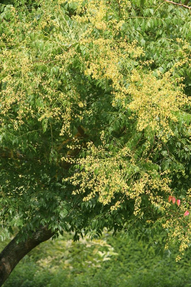 Yellow flowers of Koelreuteria paniculata