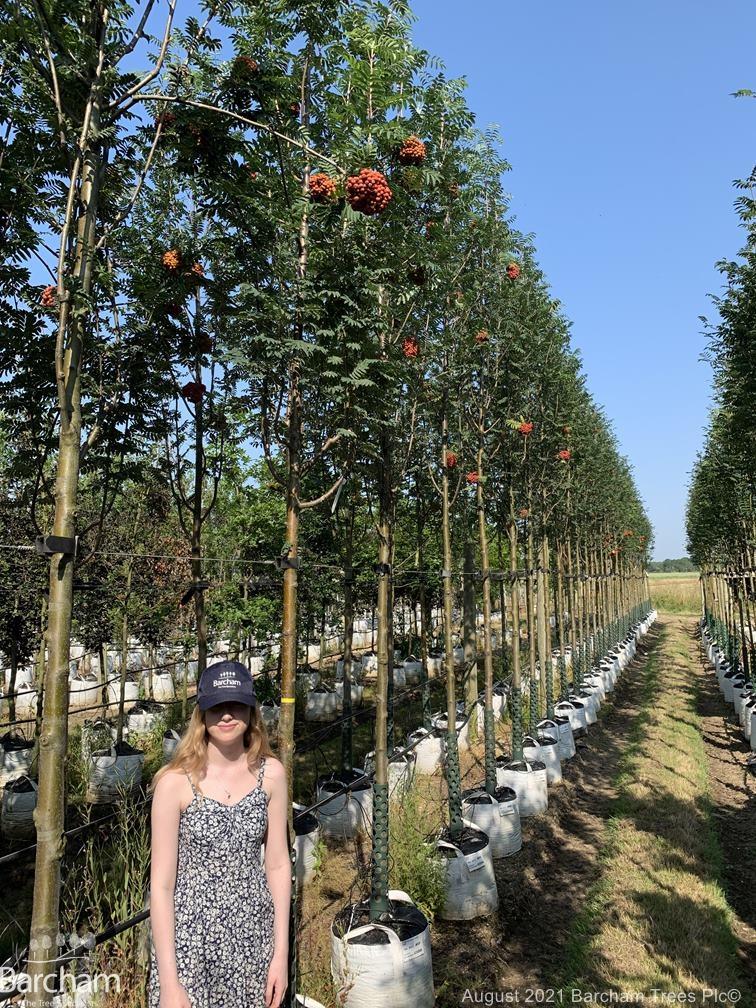 Medium Sorbus aucuparia Cardinal Royal