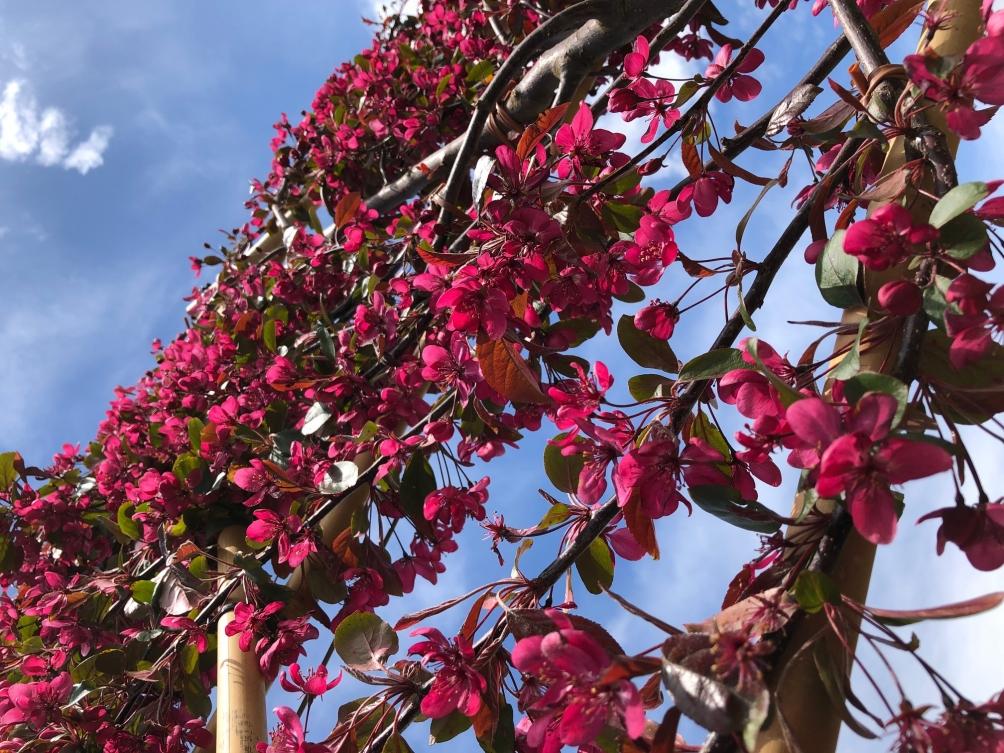 The pretty flowers of Malus toringo Scarlet