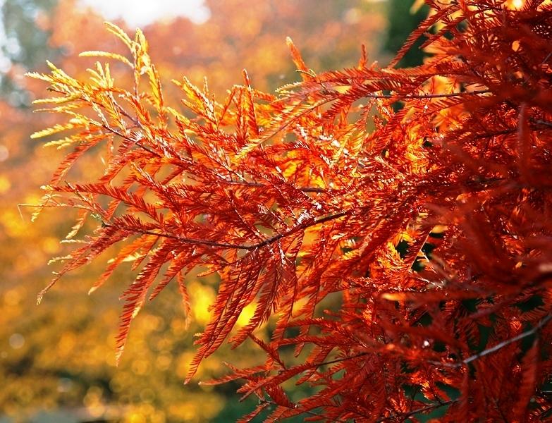 Orange autumn foliage of Taxodium distichum