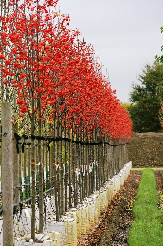 Sorbus intermedia Brouwers covered in berries on the Barcham Trees nursery
