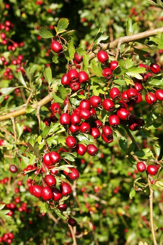 The red berries of Crataegus monogyna