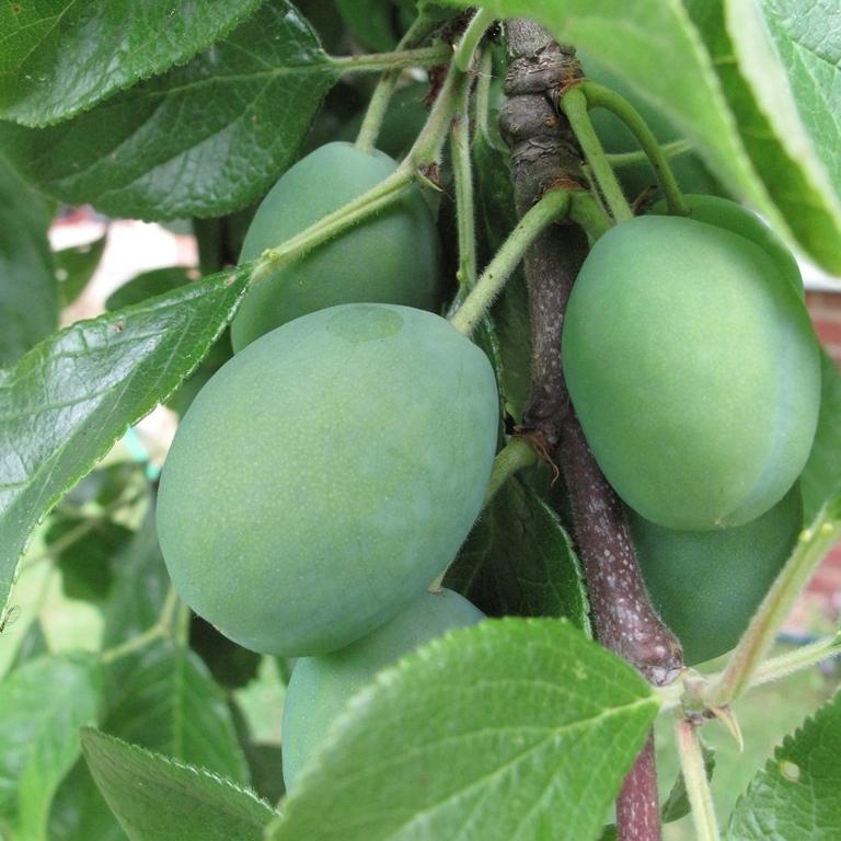 The ripening fruit of Prunus Victoria