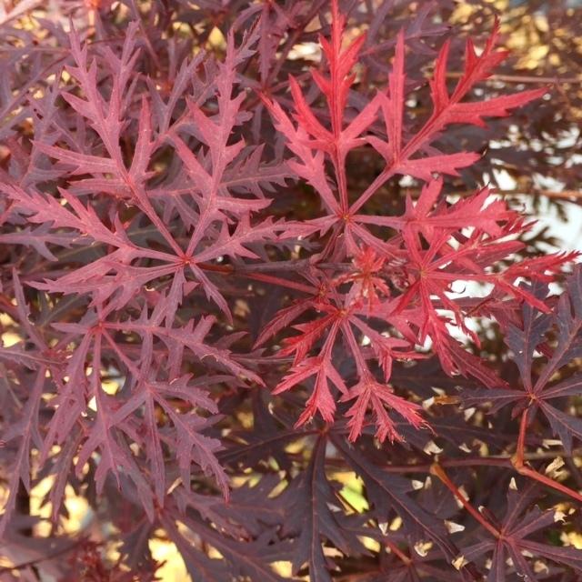 Cut foliage of Acer palmatum Dissectum Garnet