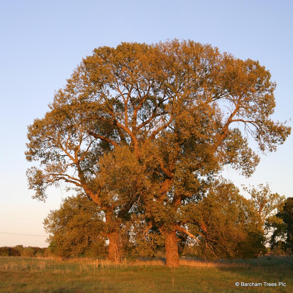 A mature specimen of Populus nigra in a rural environment
