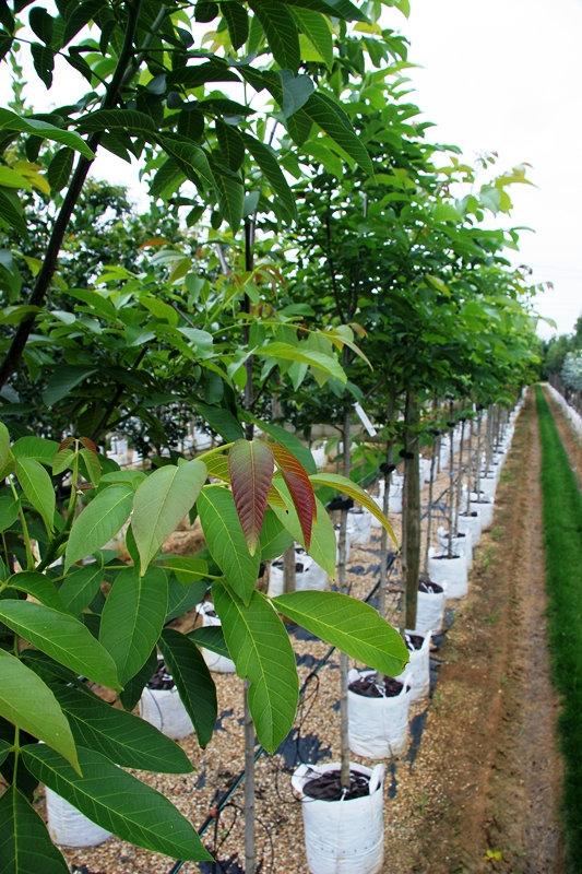 Juglans regia in full foliage on the Barcham Trees nursery