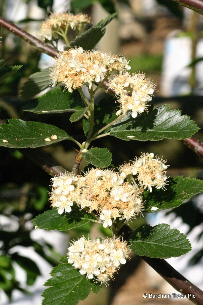 Sorbus intermedia Brouwers flower and spring foliage