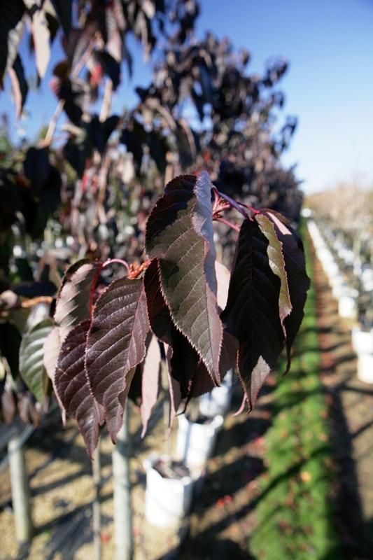 The dark purple foliage of Prunus Royal Burgundy