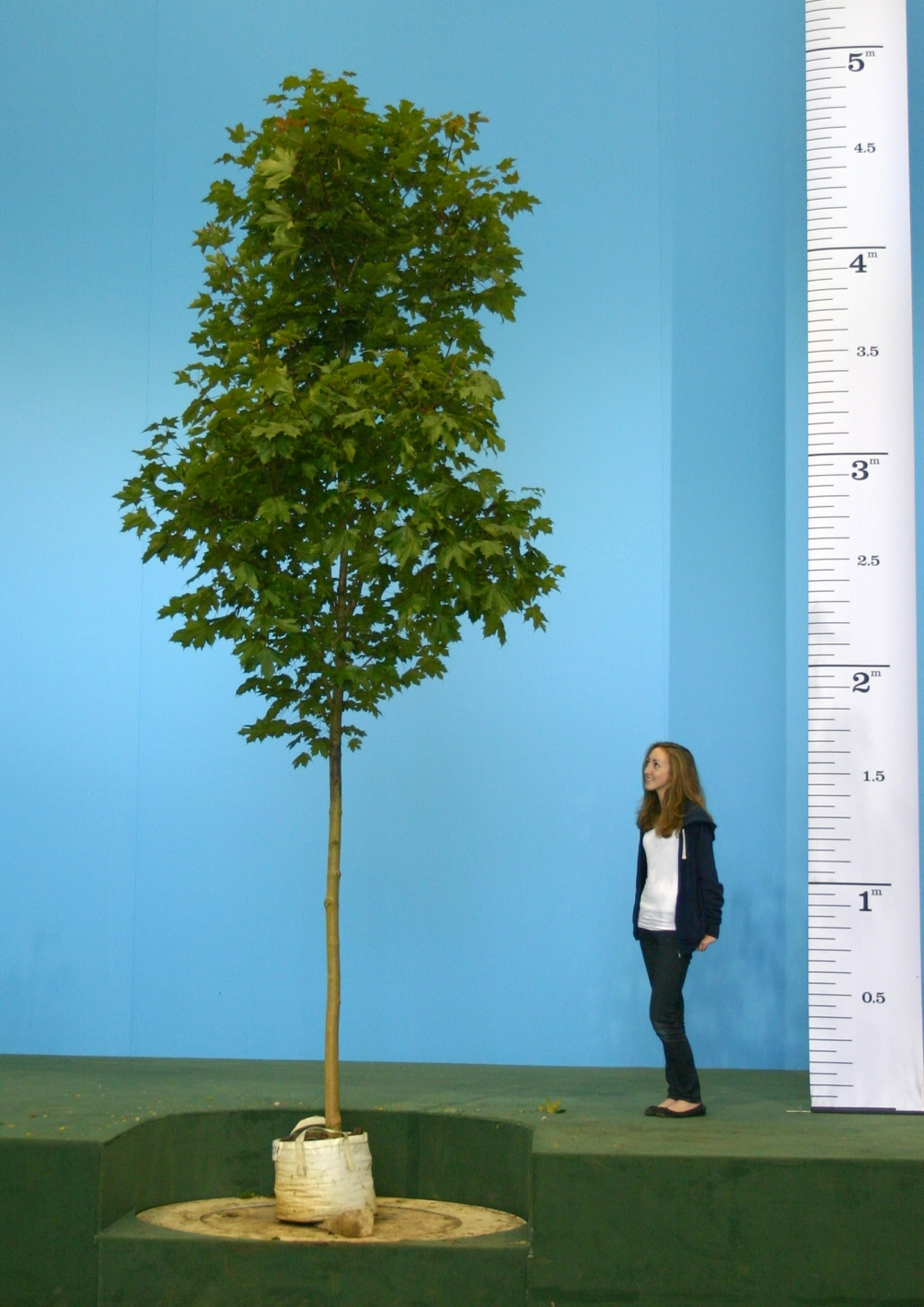 Scaled image of Acer platanoides Fairview size Medium