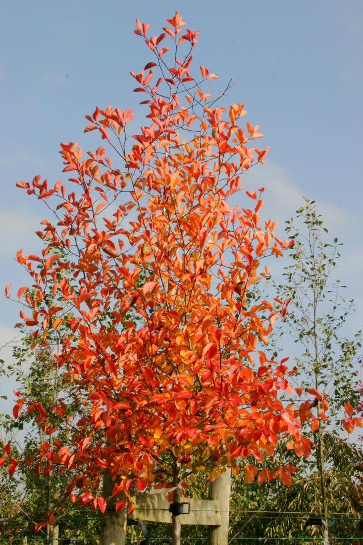 Crown of Crataegus prunifolia with bright orange and red autumn colour